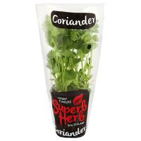 Superb Herb Coriander Living Plant Large Potted each