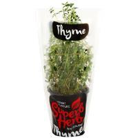 Superb Herb Thyme Living Plant each